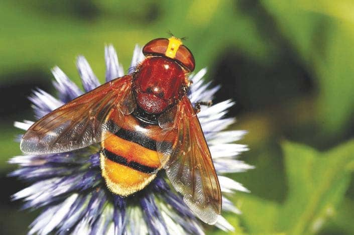 The hornet mimic hoverfly