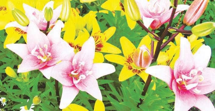 Can I plant lilies in autumn?