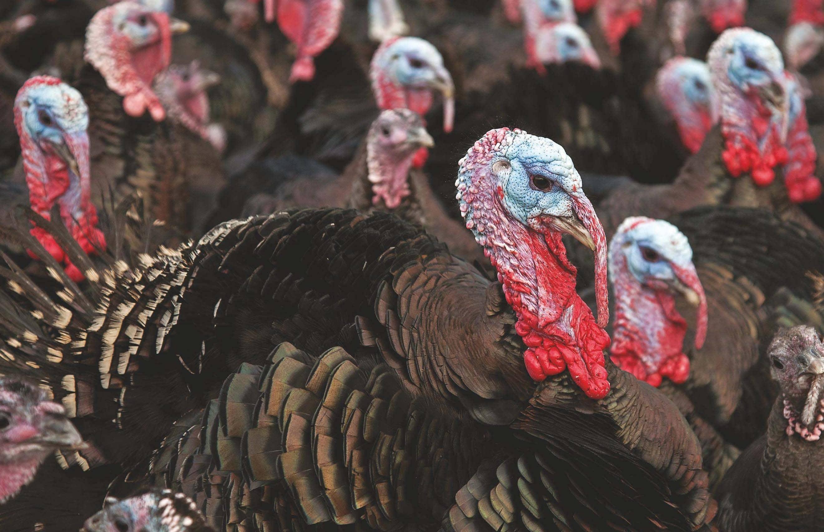 The 'Gold Standard' Christmas Turkey