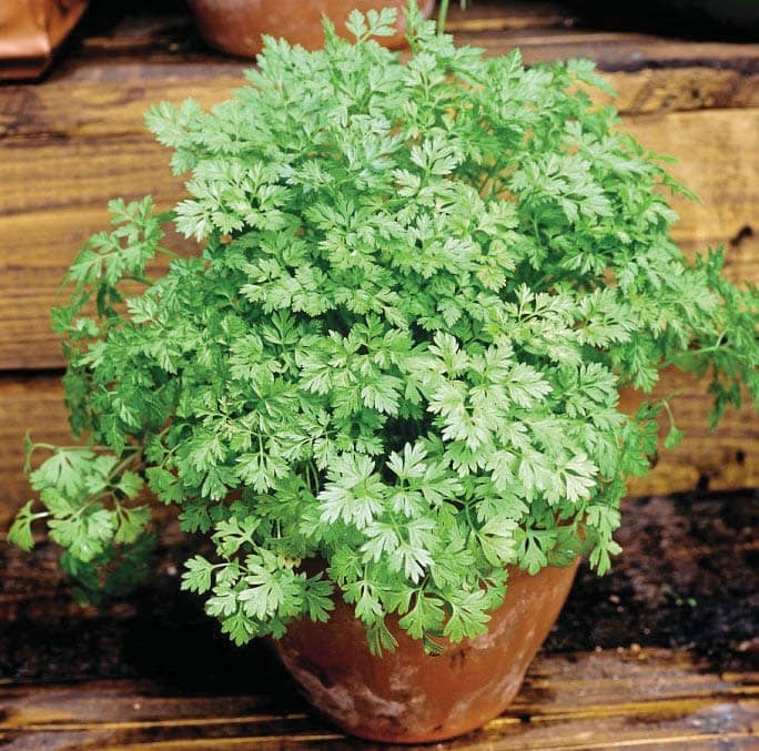 HERB OF THE MONTH...Chervil