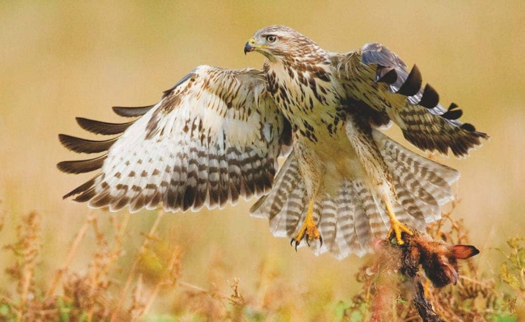 RSPB claims big lockdown rise in raptor persecution