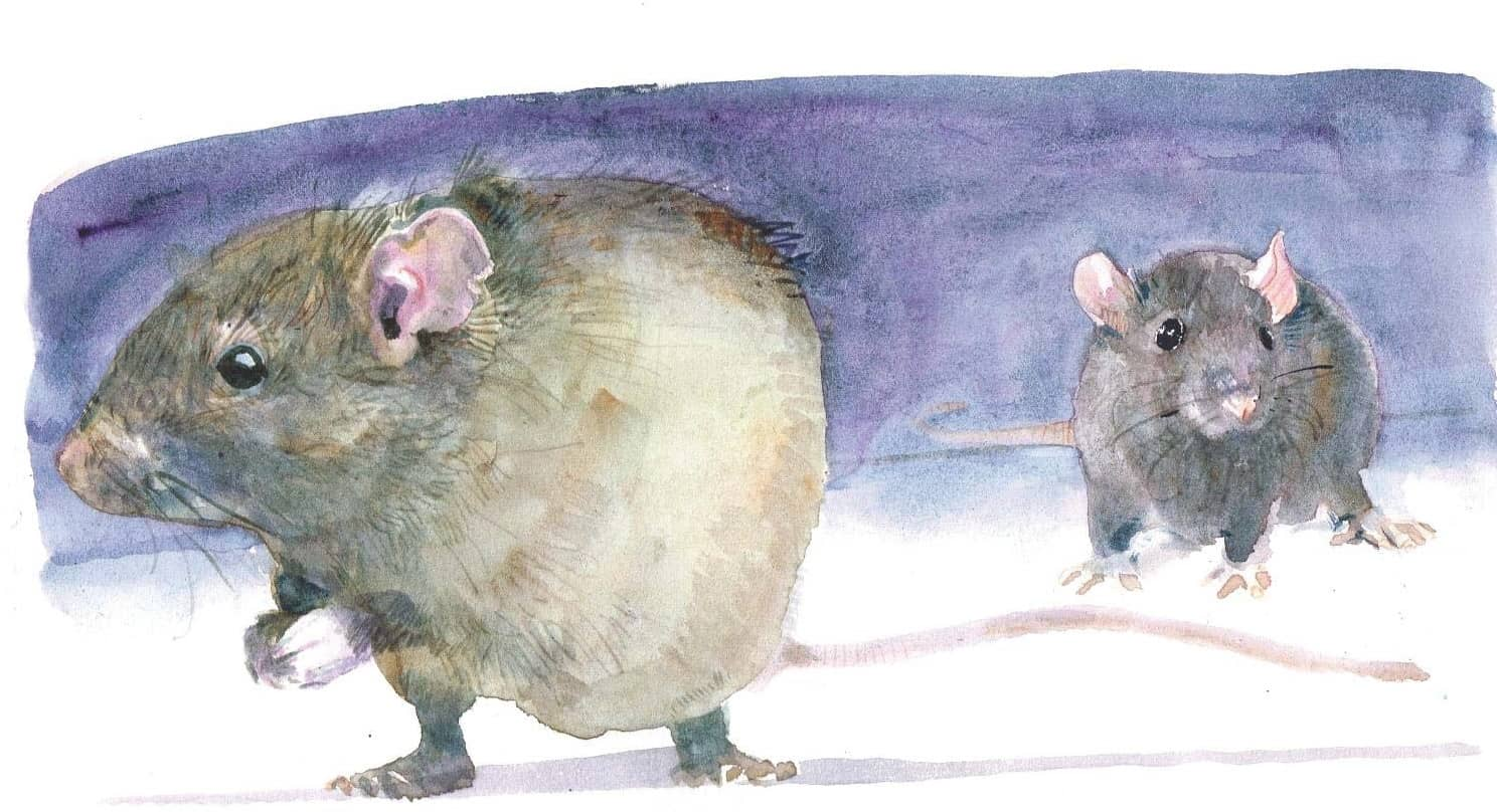 Trappings of success in rat-catching quest