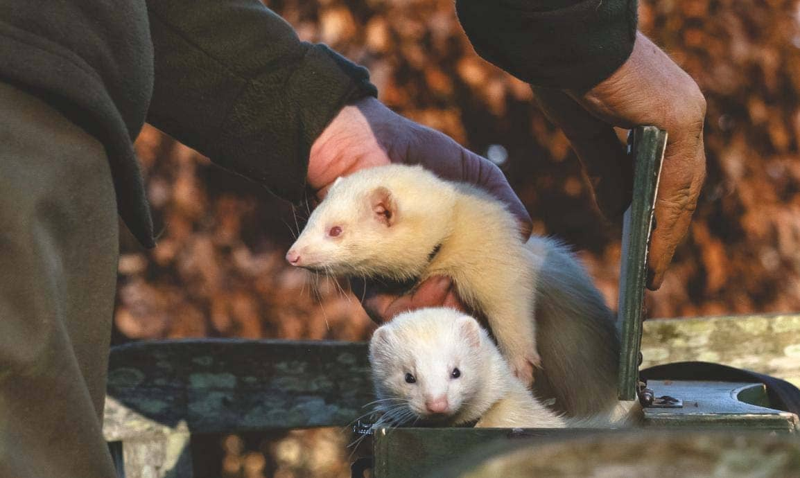 In search of your ferret's true colours