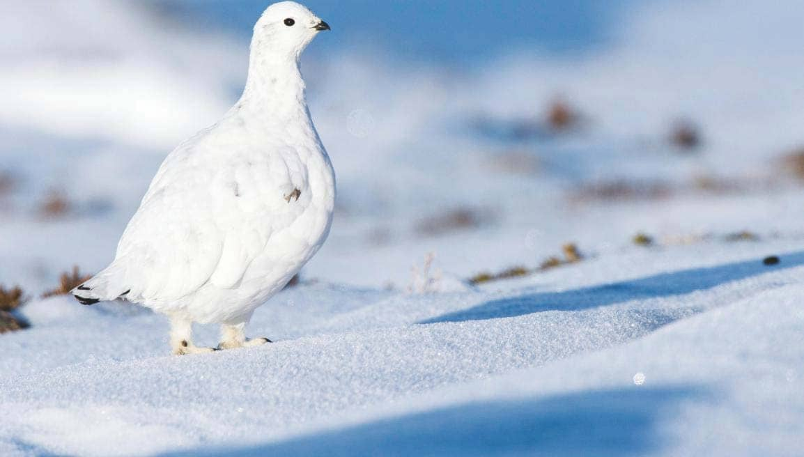Elusive ptarmigan at the top of the world