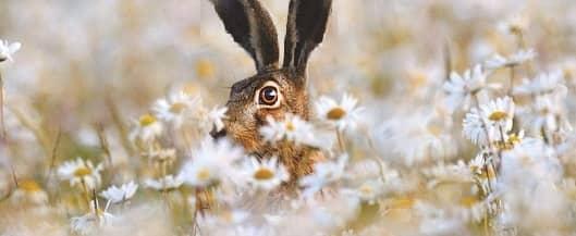 Hare restorer