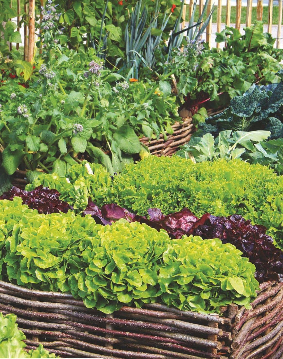 Grow your own WINTER SALAD