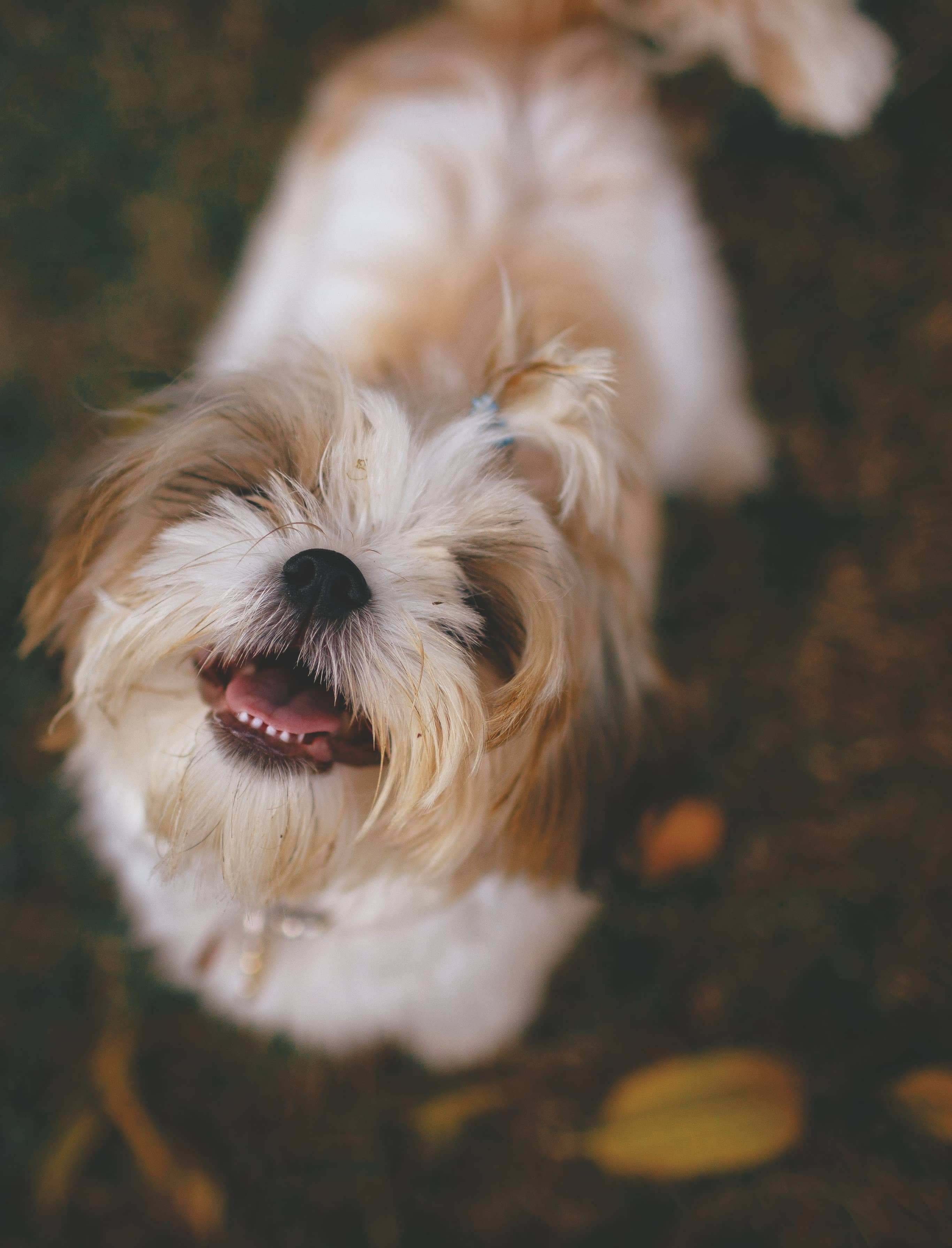 How To Groom A Shih Tzu A Complete Guide
