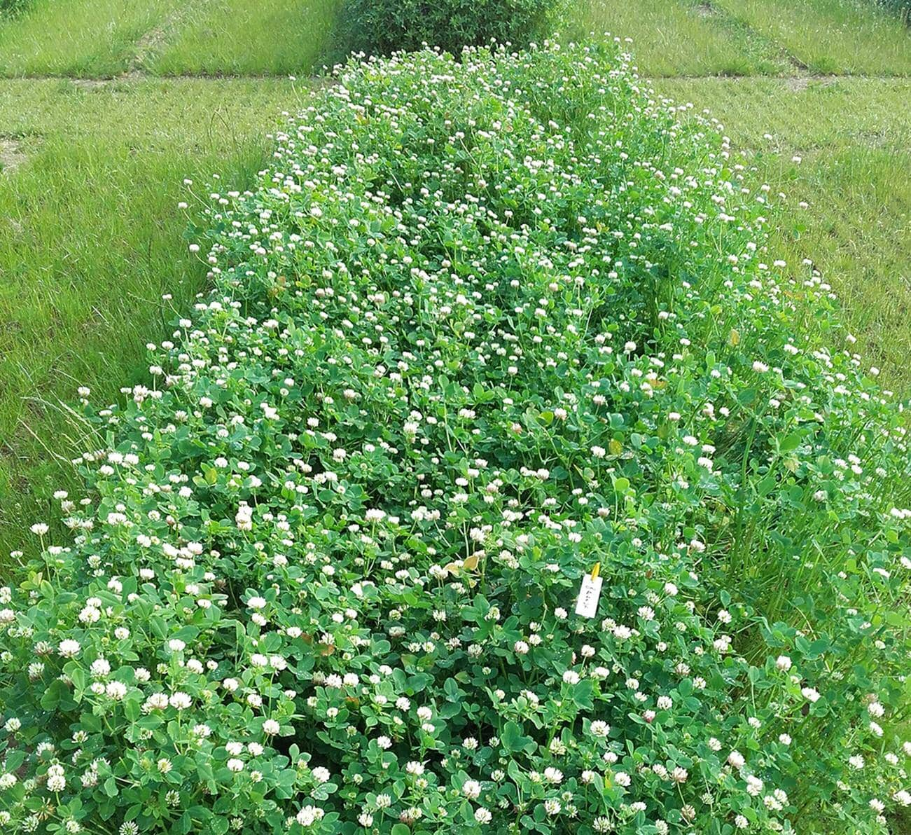 High biomass clover offers new land recovery option