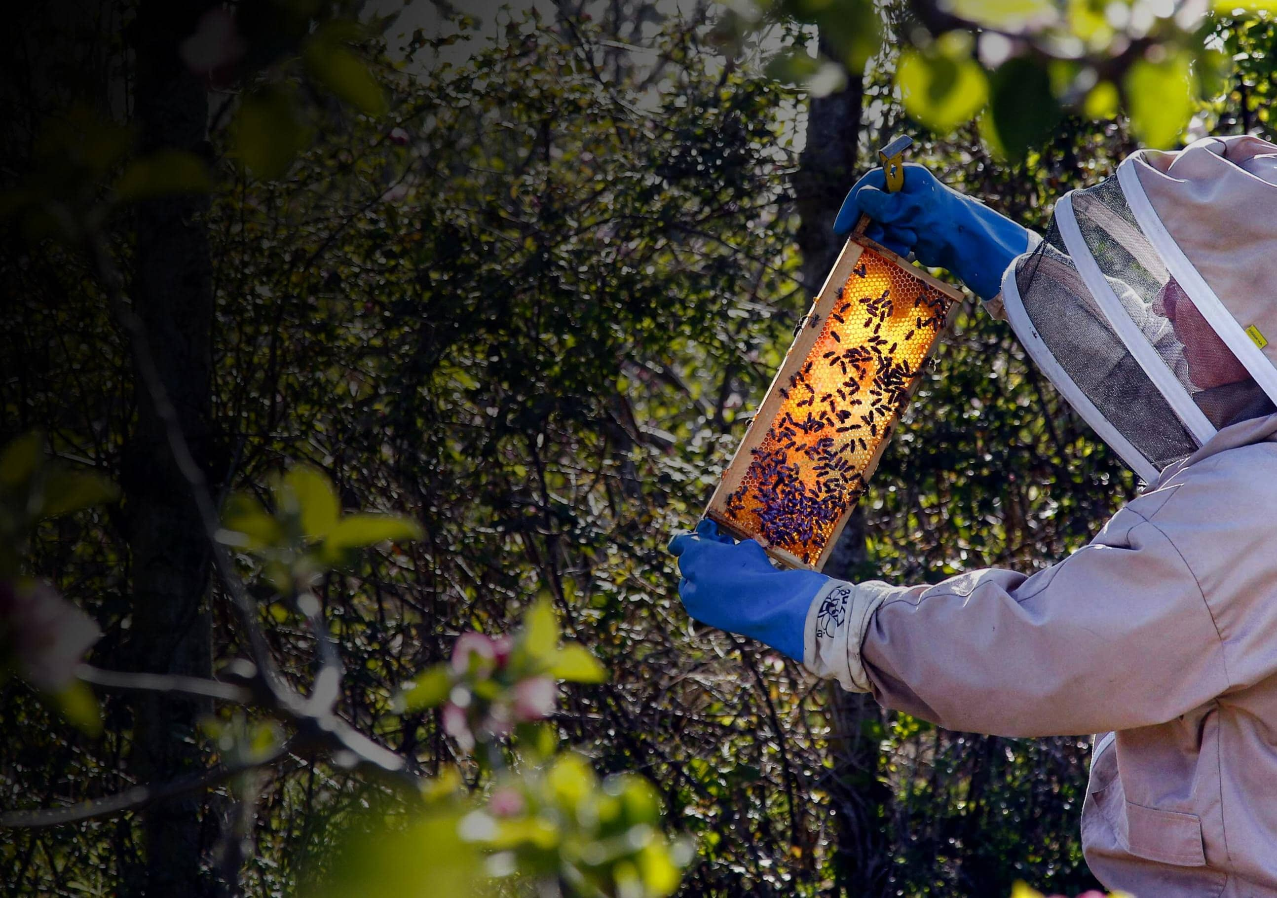 Holidaying bees help the fruit orchards bloom at Hadlow Estate