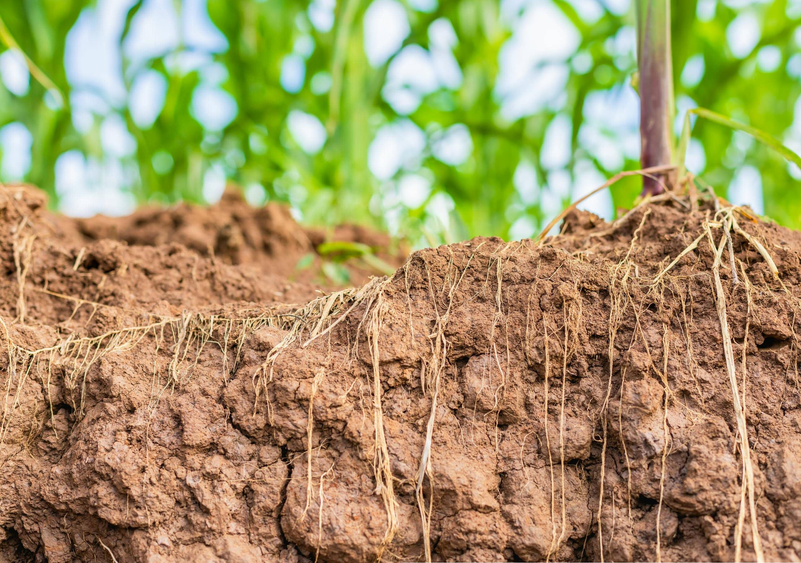 Drought resistant crops for the future