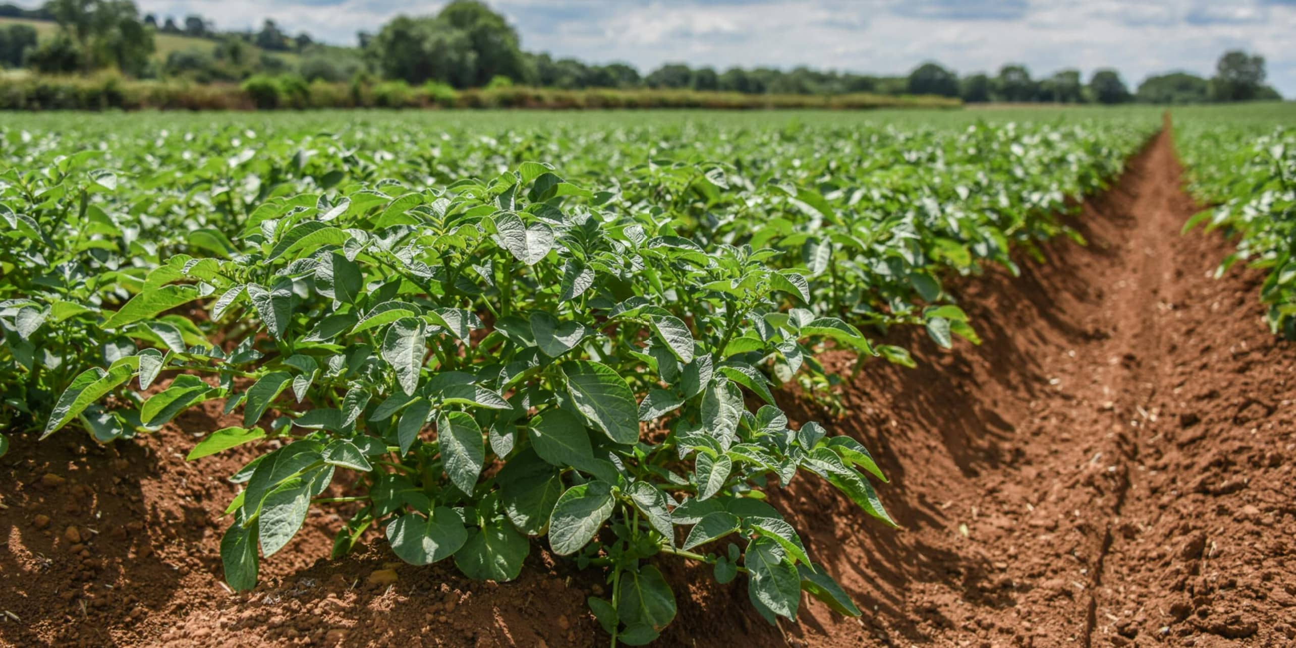 Changing weather pattern puts potato growers on high alert for blight