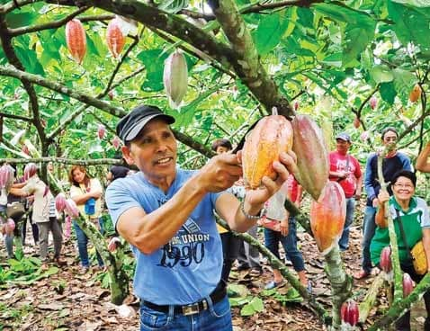 Farmers Grow Recommended Cacao Varieties Through Cpar