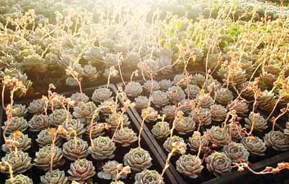 EXPORT-READY SUCCULENTS GROW AMIDST THE COLD