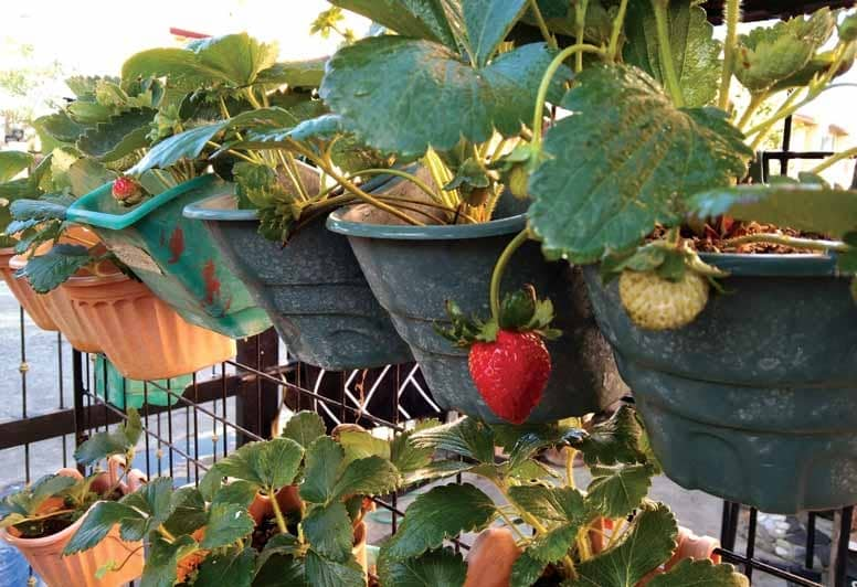 STRAWBERRIES GROW IN A CAVITE RESIDENCE