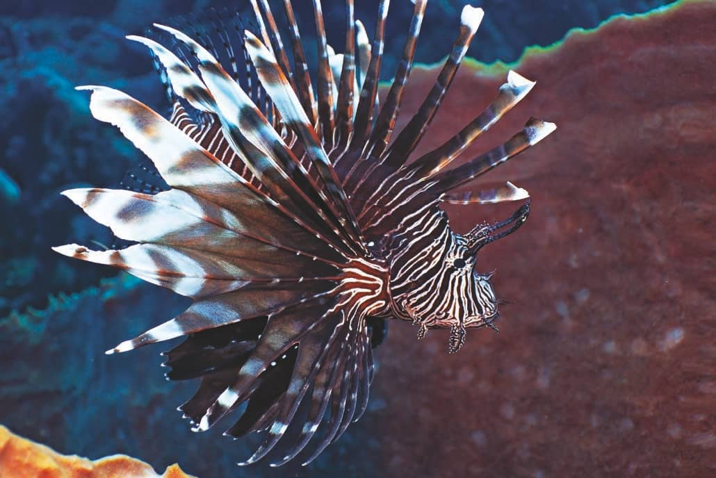 Diving Safety Tip - Reduce Contact With Lionfish