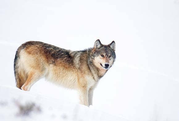 Social Distancing in Wolf Country