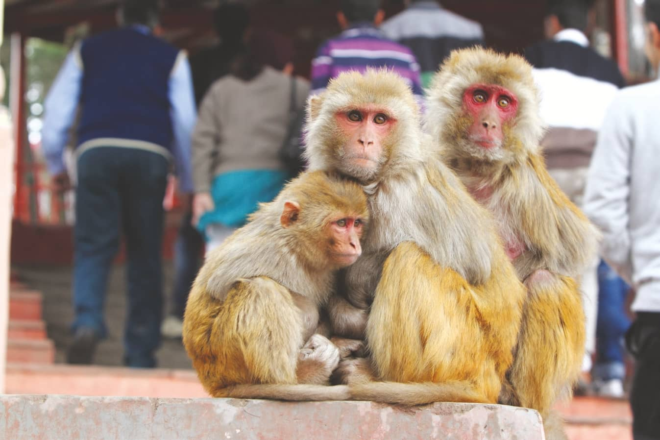 Monkey Menace in HP - Human–Animal Conflict And Other Issues