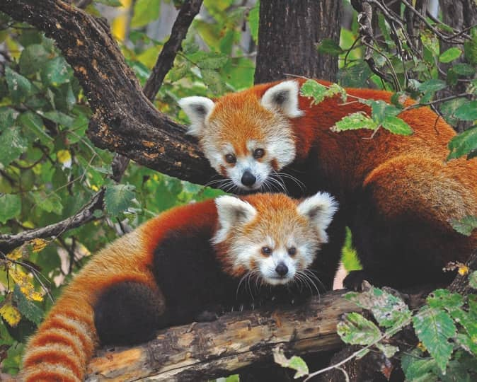 Red Panda: Let's Stop this Animal from Going into the Red!