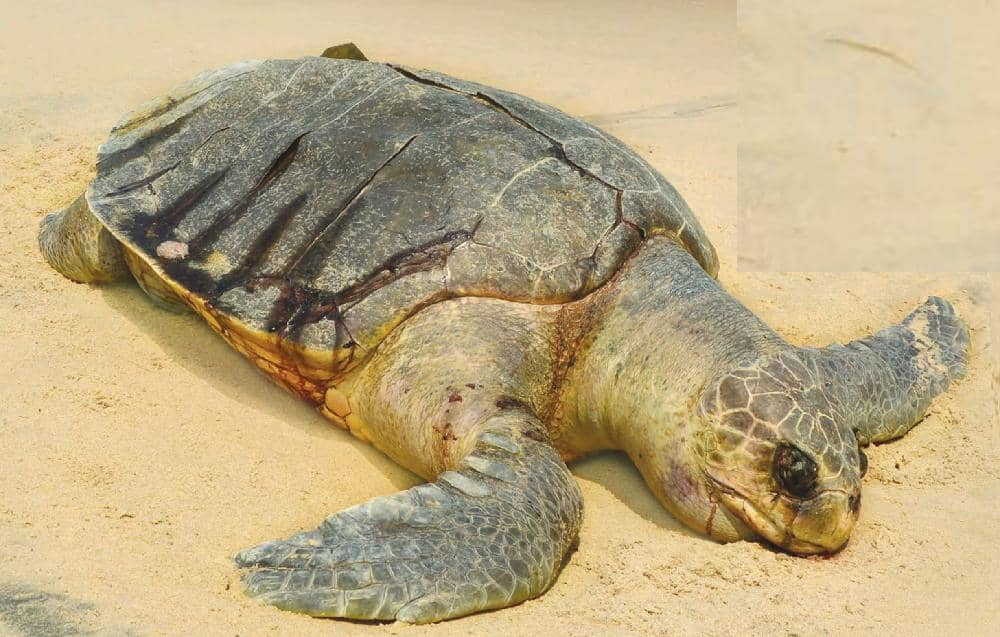 Conserving Turtles in Tamil Nadu's Fishing Village With Collaborative Efforts