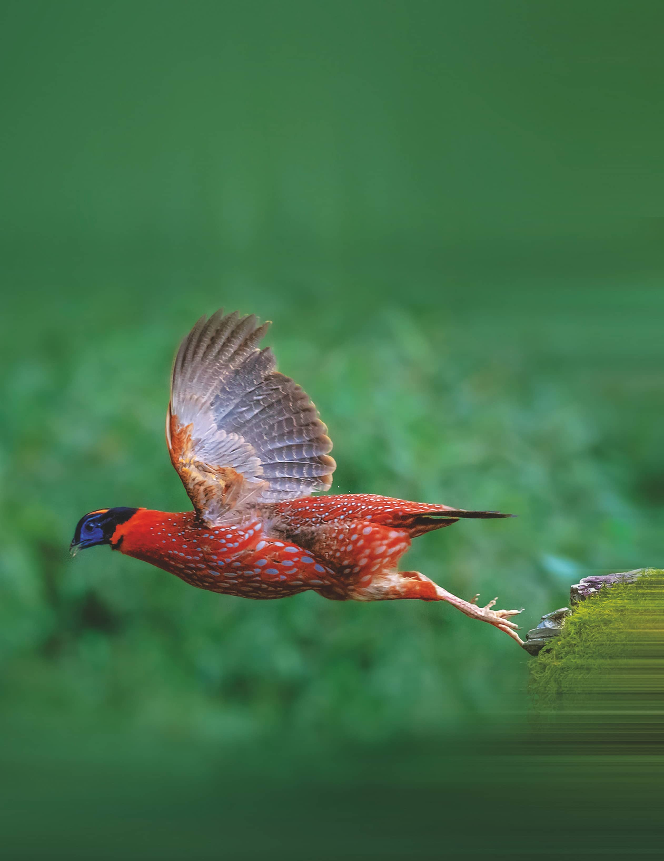 High-altitude Pheasants