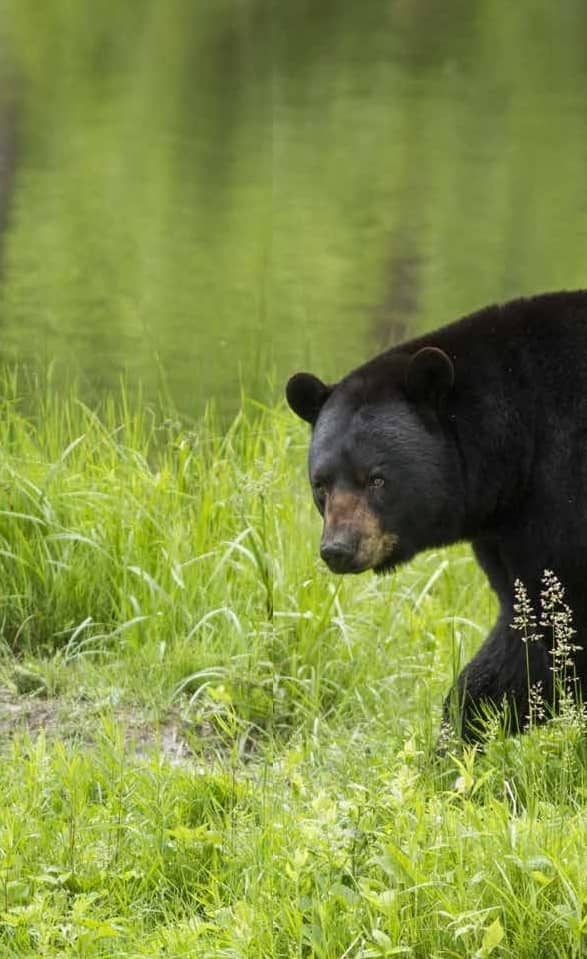 MYTHS & FACTS ABOUT NOCTURNAL BEARS