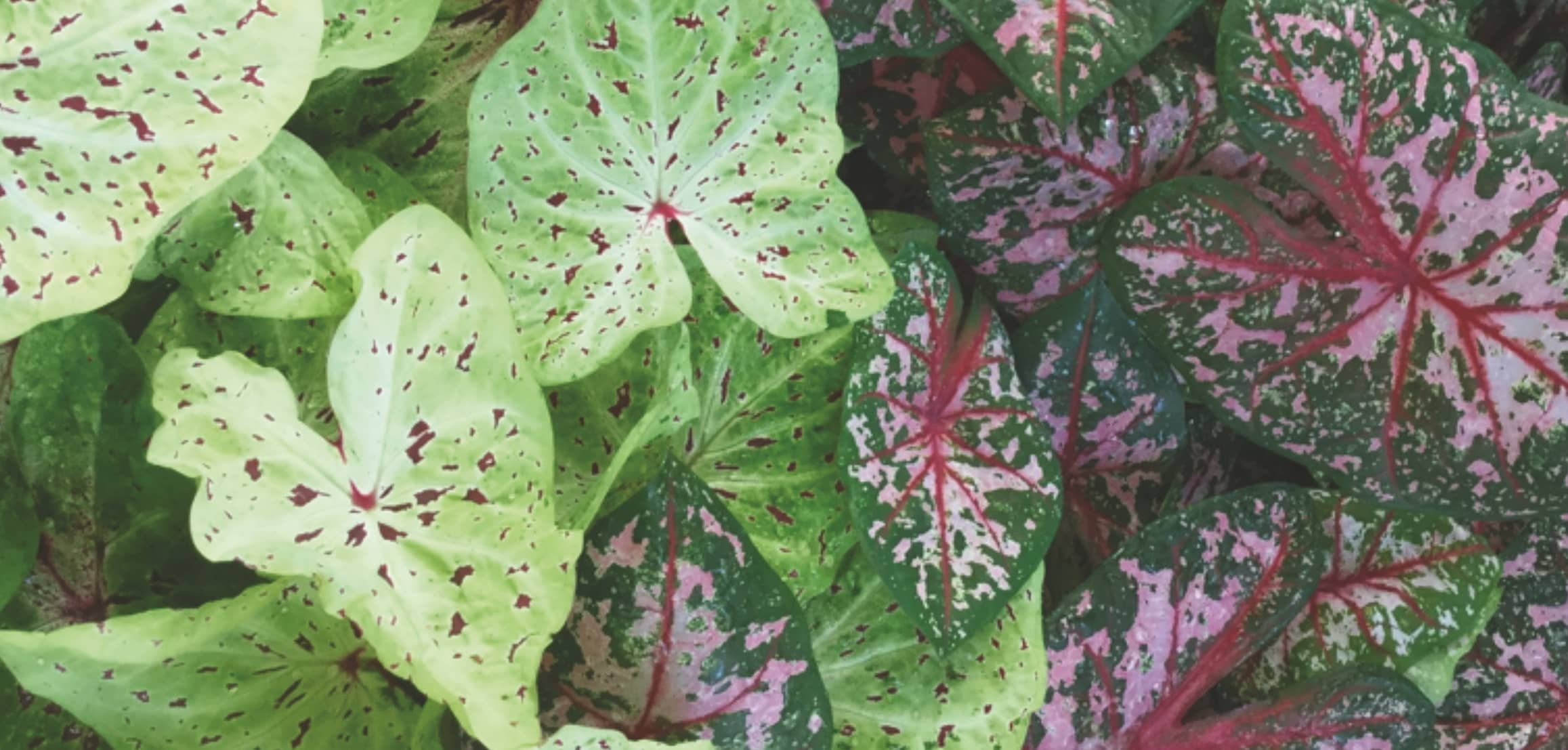 Learn Why These Colorful Plants Thrive in Lake Placid