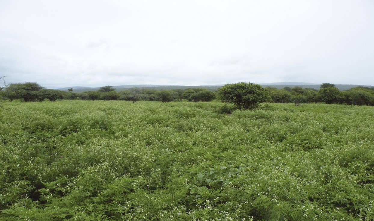 How To Control Parthenium On Game And Livestock Farms