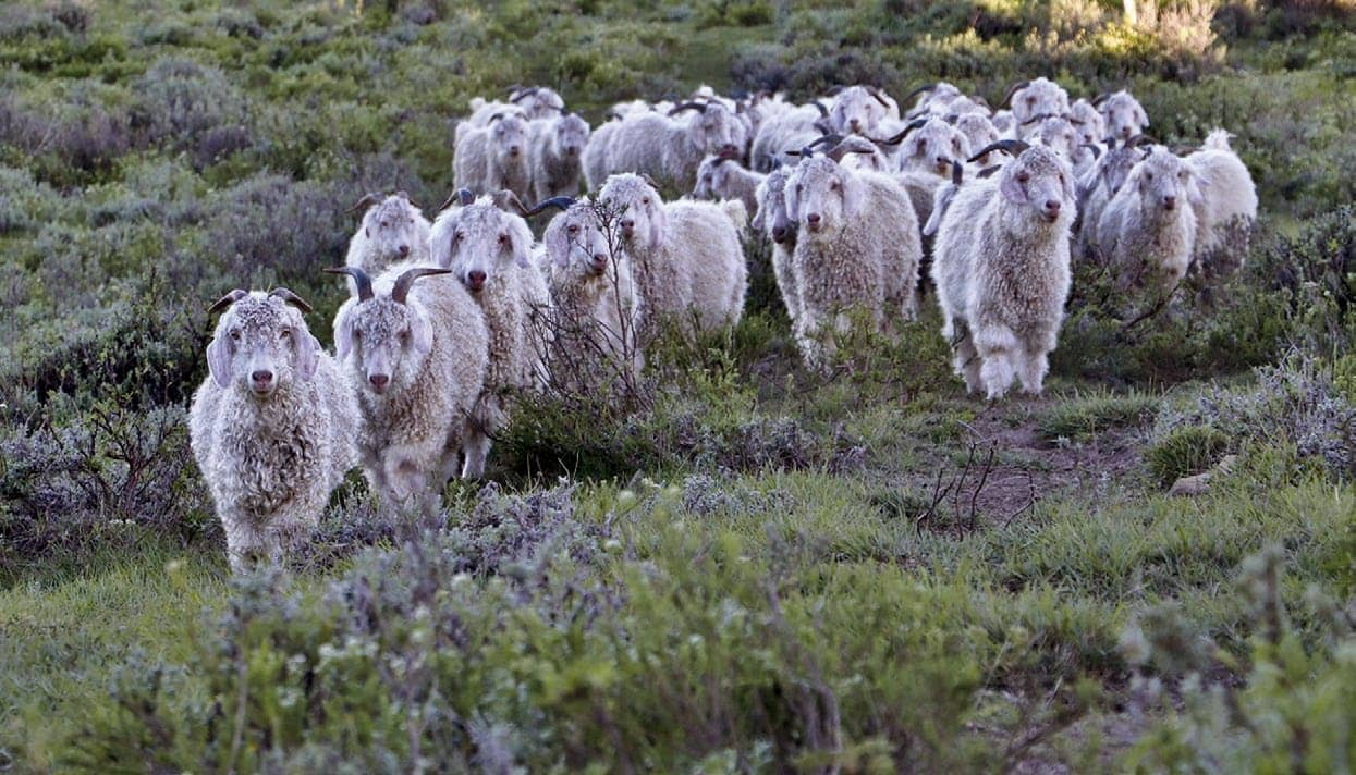Responsible Mohair Standard launched in South Africa