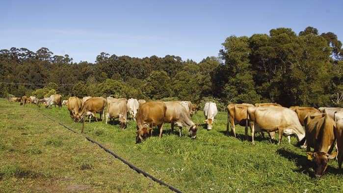 Dairy Cows: Overcoming Fodder Flow Shortages In Winter