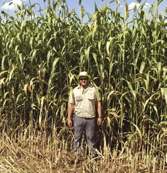 Feed sorghum as an alternative silage crop