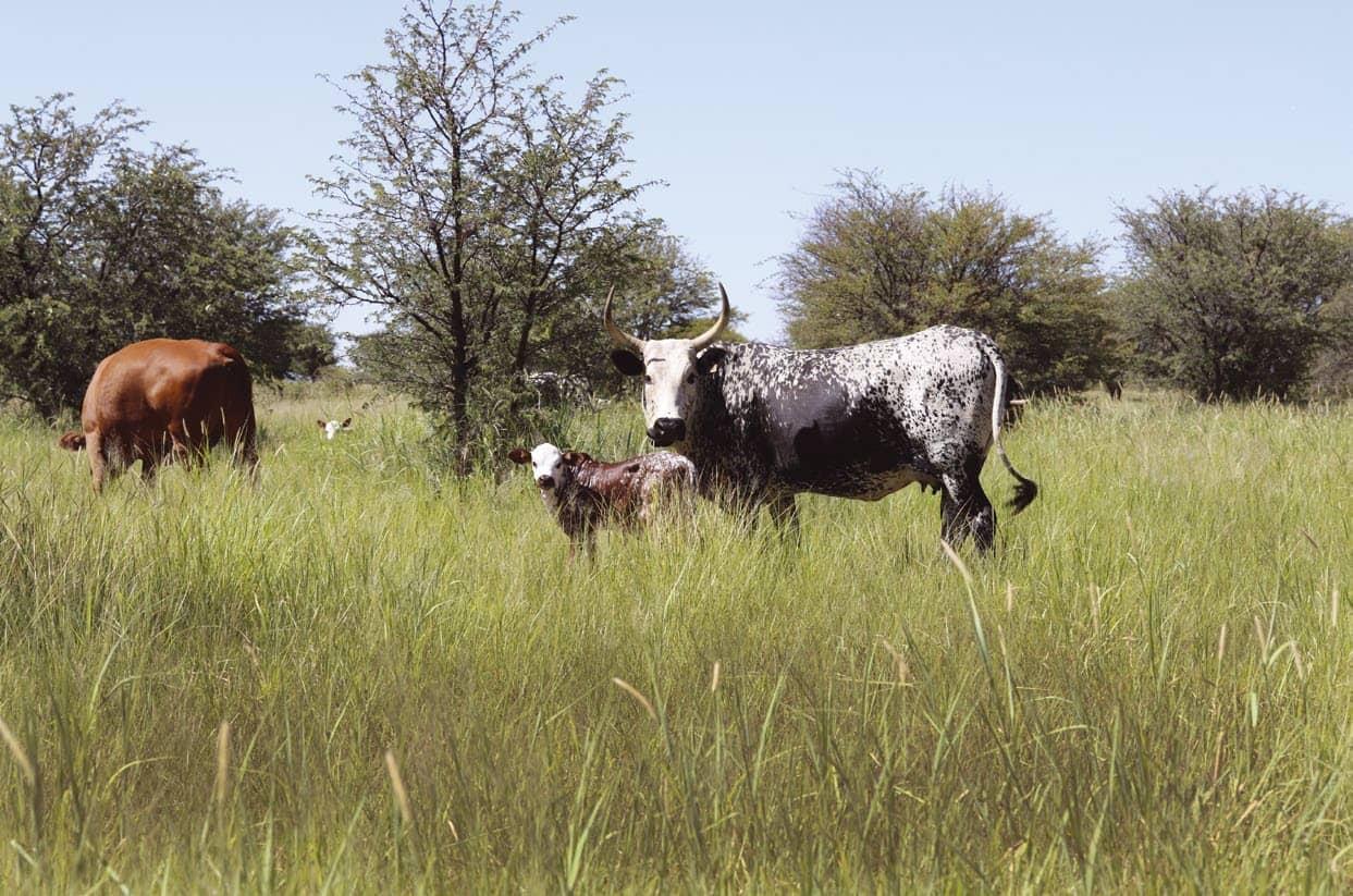 The Influence Of High-density Grazing On Herd Fertility