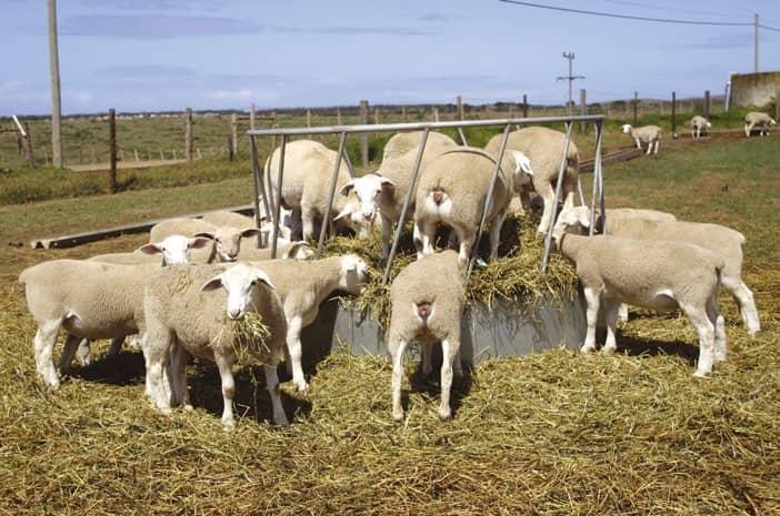 Ewe Nutrition For Optimal Lamb Production