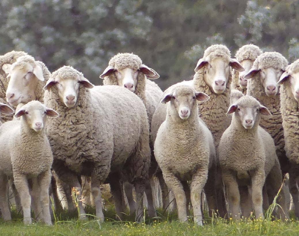 Nutritional Flushing Of Sheep