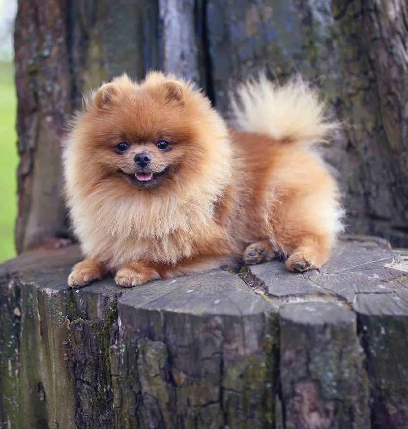 Pomeranian (-ology)