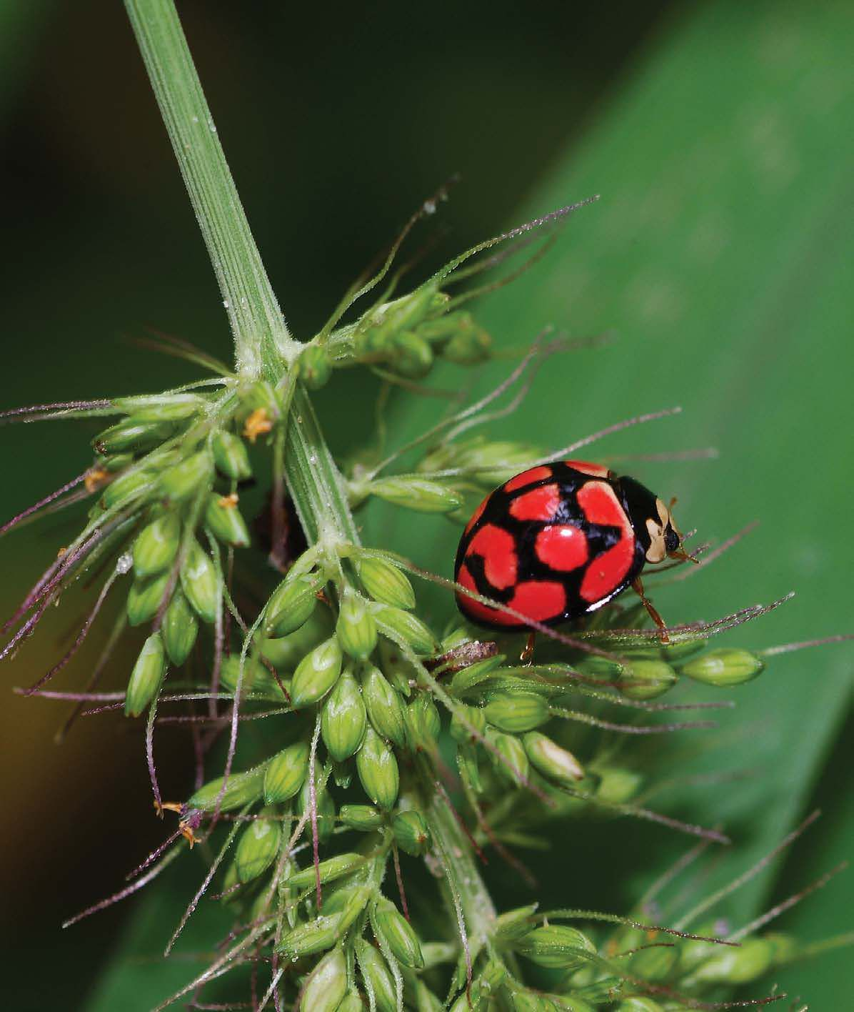 Ladybirds Industrial Aphid Munchers