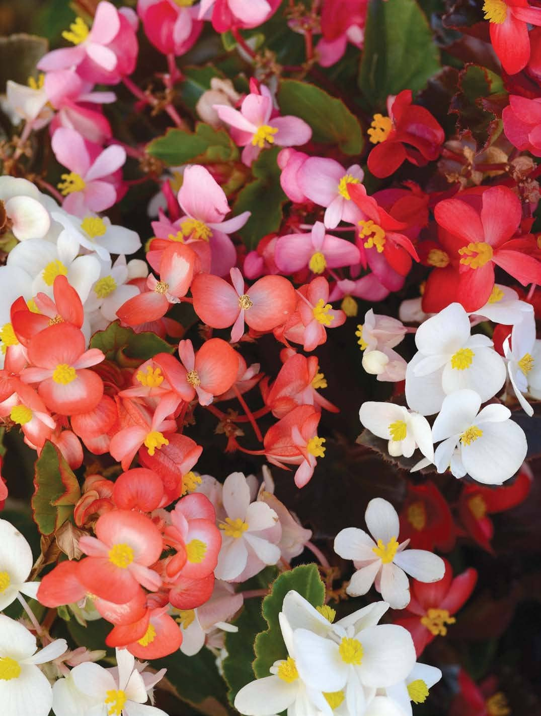 Dazzle With Begonias