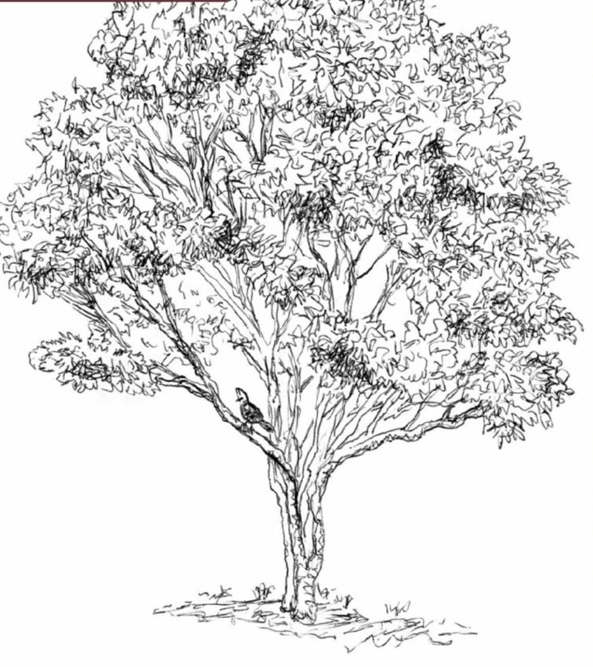 Beautiful white ironwood for medium to large gardens - Vepris lanceolata