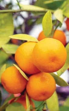 Introducing Biological Pest Control In Citrus