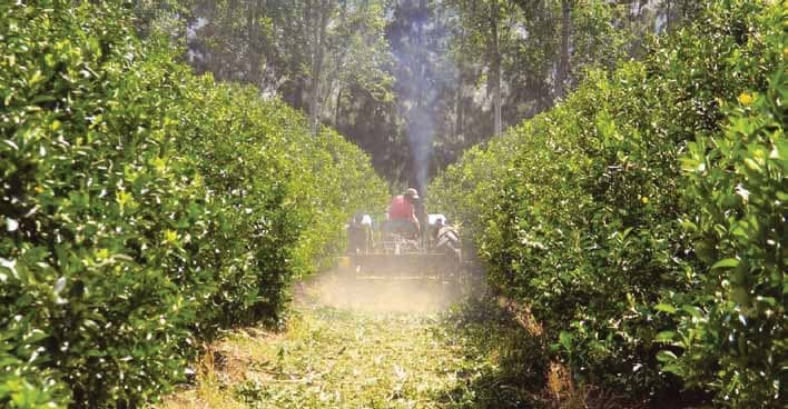 Cookhouse Citrus Industry Thrives