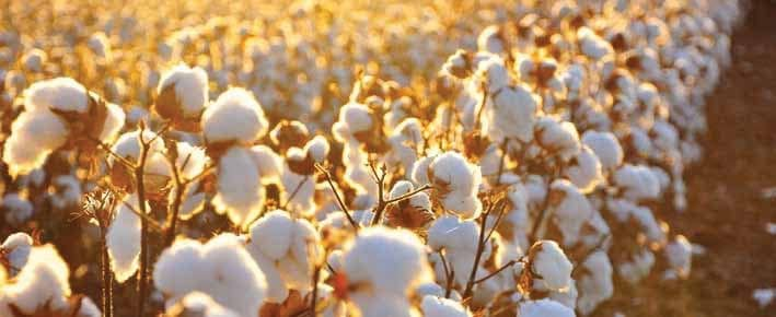 State Of The Global Cottonseed Oil Market