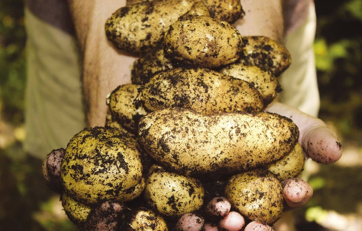 Two Ways To Grow Potatoes At Home