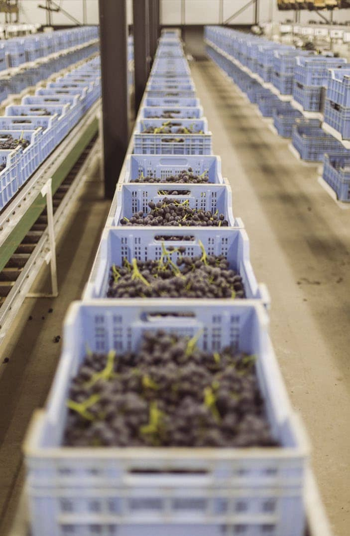 Setting The Standards In Table Grape Production