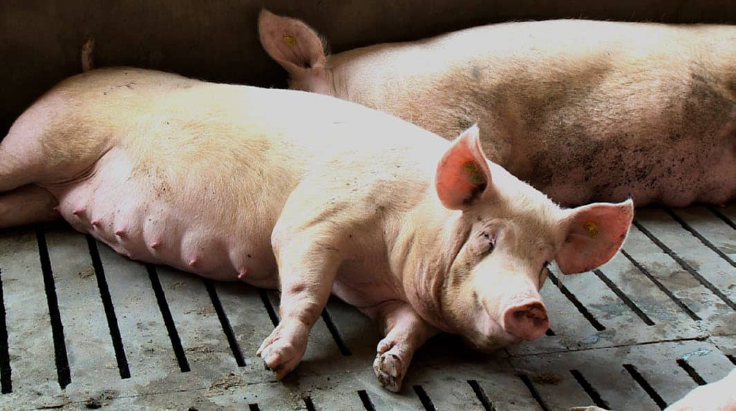 South Africa's Dynamic Pork Industry Stays On Course In Testing Times