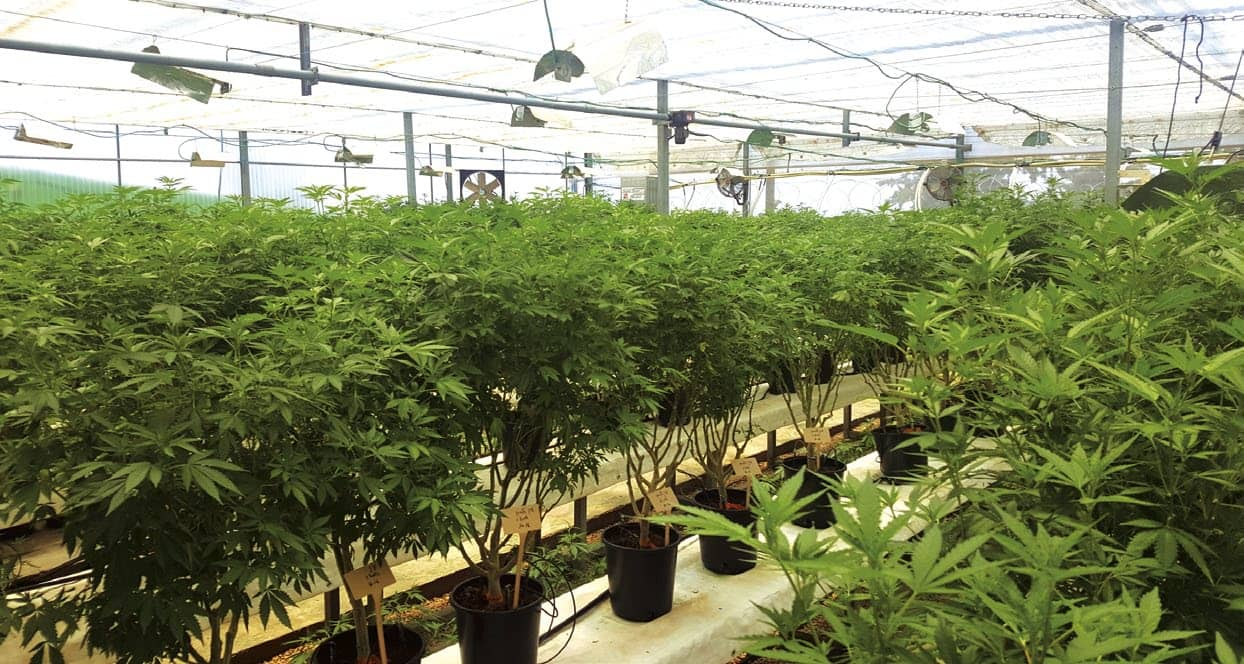 Legalising Medical Cannabis In South Africa