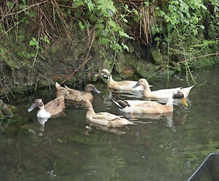 'Trying to herd two randy ducks through the orchard at dusk was an unwelcome additional daily chore'
