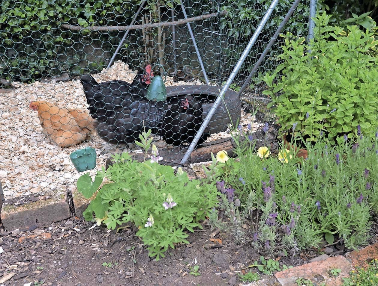 Hens and herbs