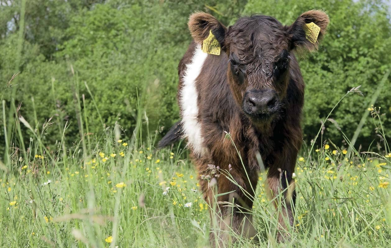 THE WILD SIDE OF COWS