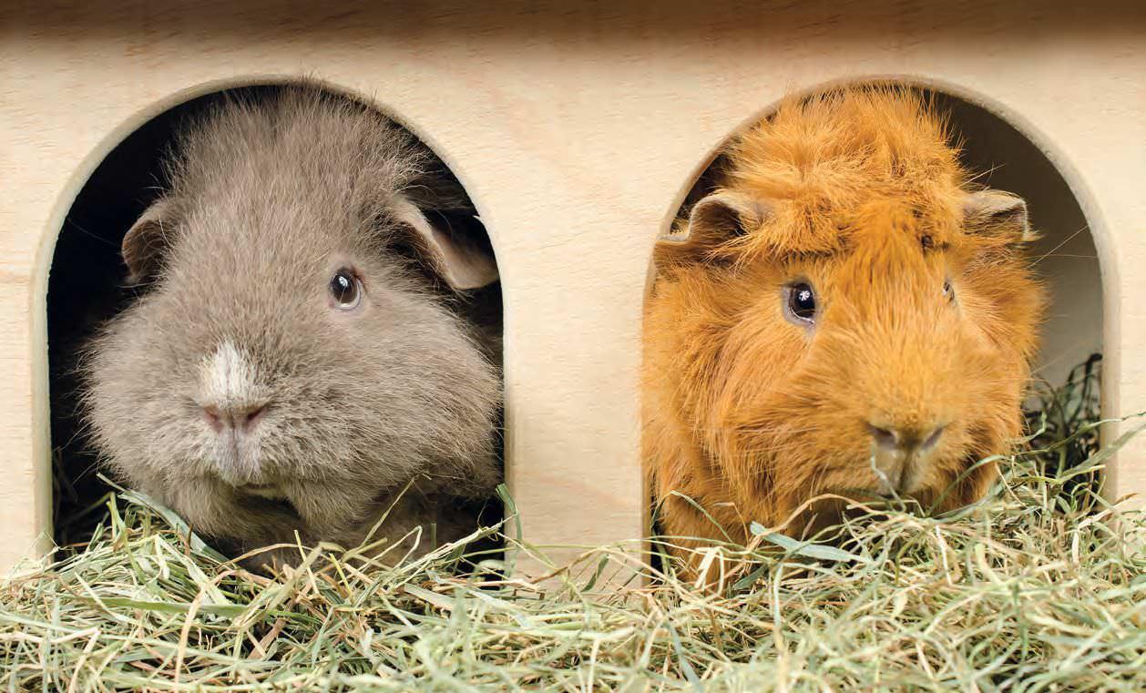 Training Guinea Pigs