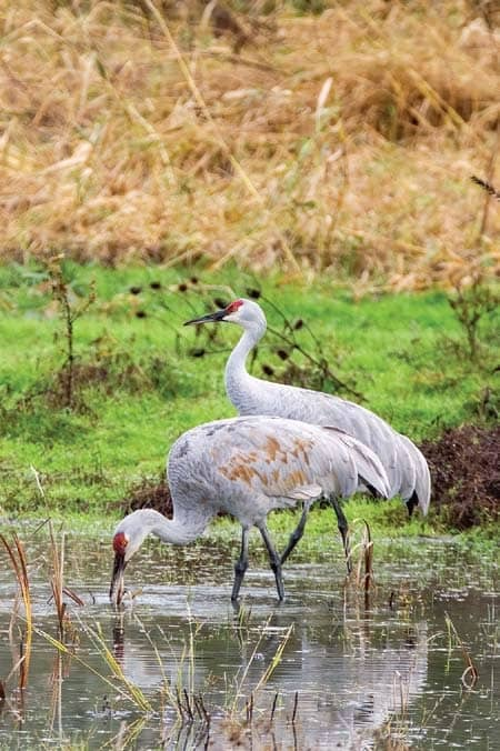 Sandhill Cranes: A life-changing experience