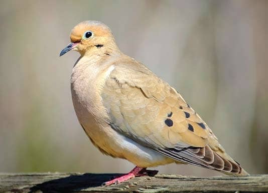 Two doves: One native, one an intruder